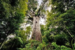 Auckland Council votes against the Rahui and Waitakere Ranges closure to save the Kauri